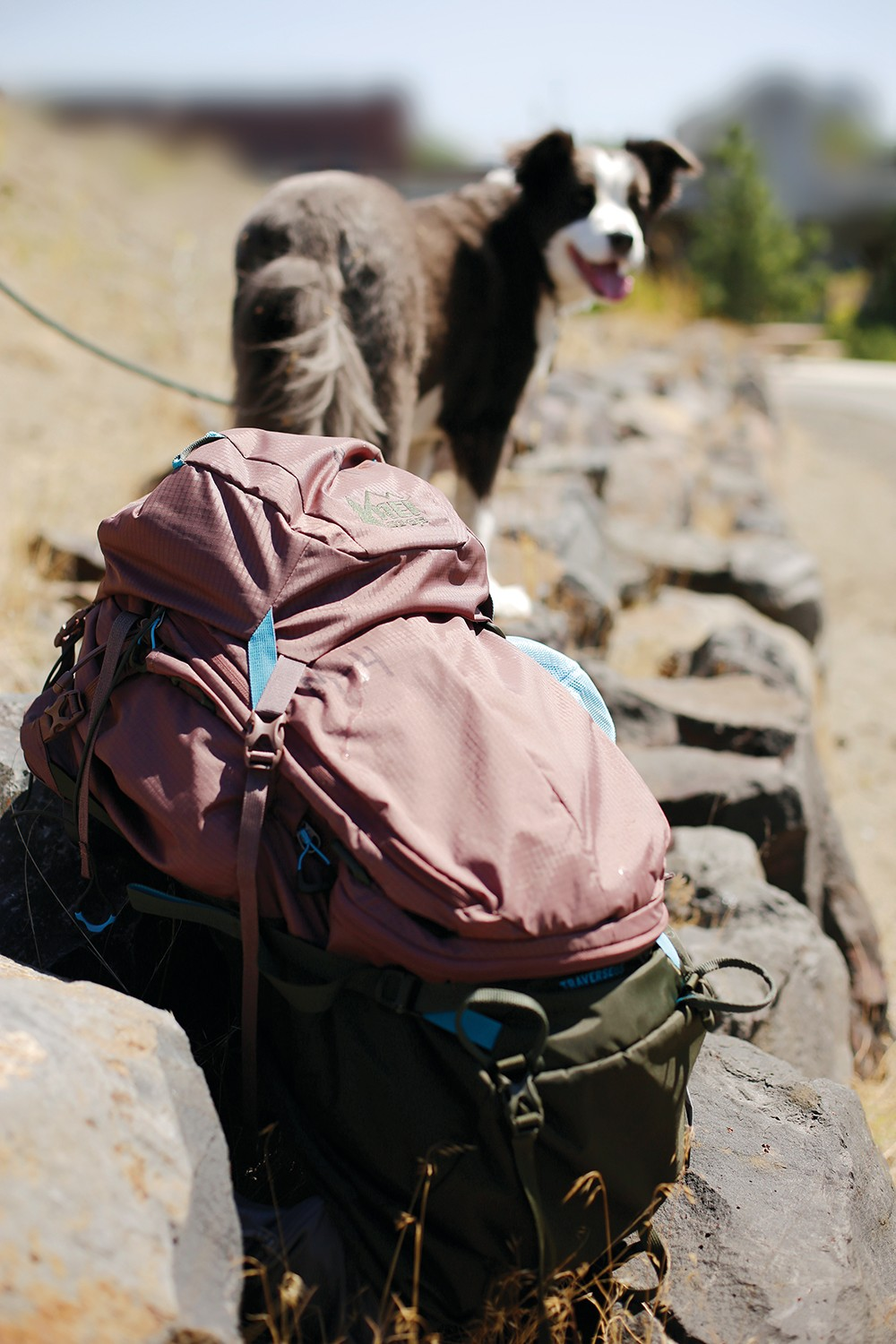 Buddy the border collie waits for his owner to strap on her rented REI backpack. - YOUNG KWAK PHOTO