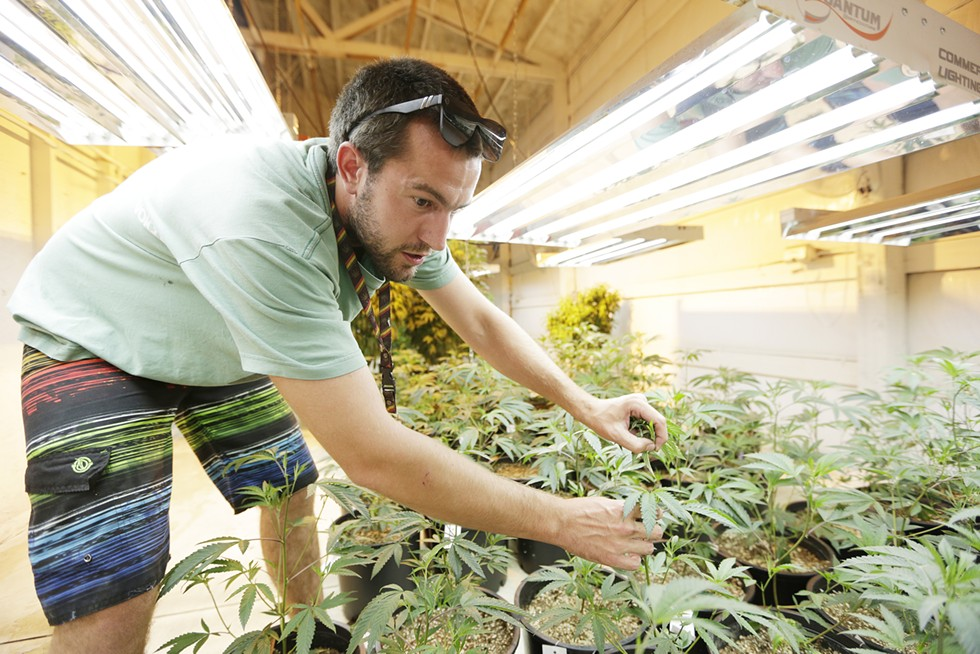 Nick Kessler, one of the owners of Orange State Cannabis, tends to plants in the indoor portion of their farm. - YOUNG KWAK PHOTO