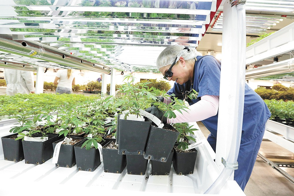 A plant technician hard at work at Phat Panda in Spokane Valley. - YOUNG KWAK PHOTO