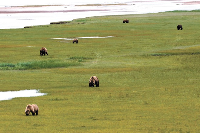 The meadows in Alaska's Hallo Bay are ideal grazing land for grizzly bears. - JOSH PALUH PHOTO