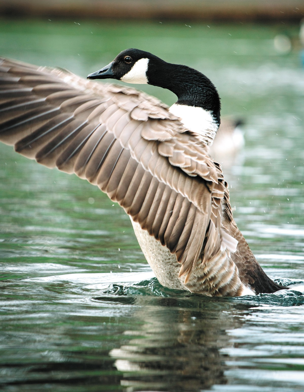 Canada geese populations have skyrocketed in North America since the 1950s.
