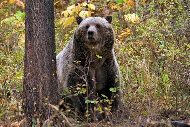 An undated photo provided by Montana Fish, WIldlife and Parks shows a grizzly bear in the northwestern part of the state. A bear fatally attacked a camper in western Montana on Tuesday, July 6, 2021, the latest in a handful of serious incidents between humans and bears in the state. - MONTANA FISH, WILDLIFE AND PARKS VIA THE NEW YORK TIMES