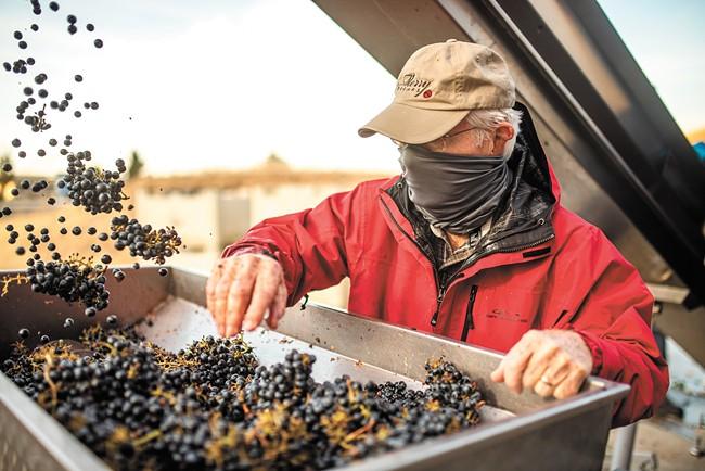 Sorting grapes at Merry Cellars. - EMILY POPCHOCK PHOTO