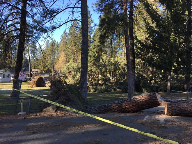 Several other Ponderosa Pines near Hawthorne Hall lost their battle with the wind on Tuesday night. - MAX CARTER