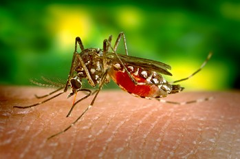 Zika is thought to be transmitted to humans by the Aedes aegypti mosquito.