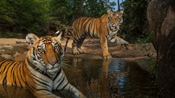 Nat Geo Live: On the Trail of the Big Cats is at the INB Performing Arts Center Tuesday.