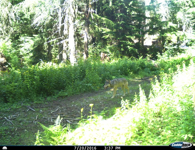 Experts aren't sure if this wolf is male or female; regardless, its presence is a welcome sign to environmentalists. - PHOTO COURTESY OF HANK SIEPP / THE LANDS COUNCIL