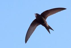 A common swift