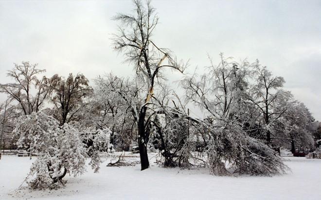 A tree splintered by Ice Storm's wrath, in Spokane's Corbin Park. - DAN HAGERMAN