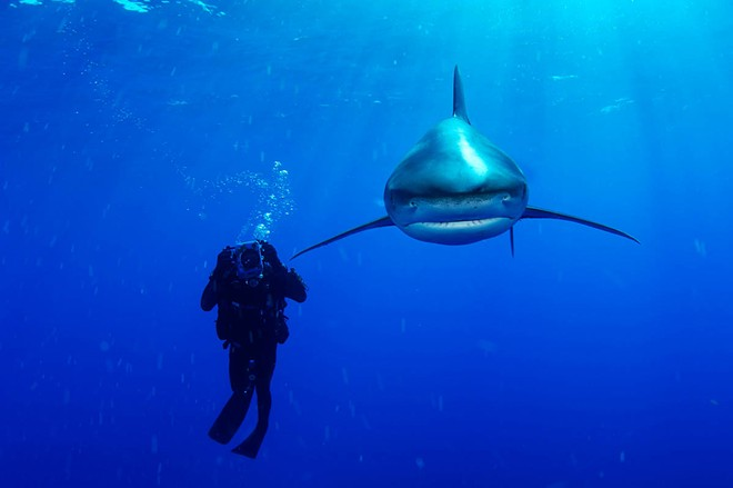 Skerry has photographed sharks of all species for the magazine; here is an Oceanic Whitetip next to a biologist. - BRIAN SKERRY