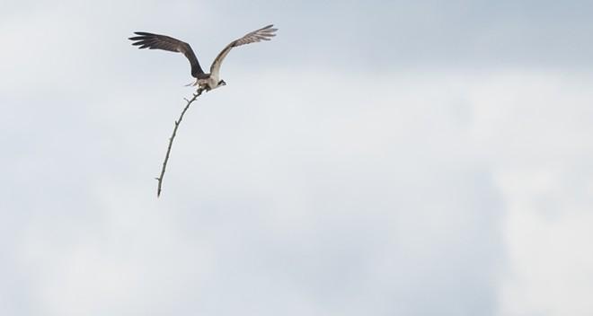 ospreystick7.5.jpg