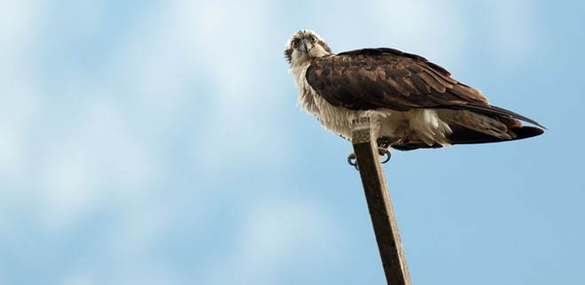 More exclusive osprey pics inside! - DANIEL WALTERS PHOTO