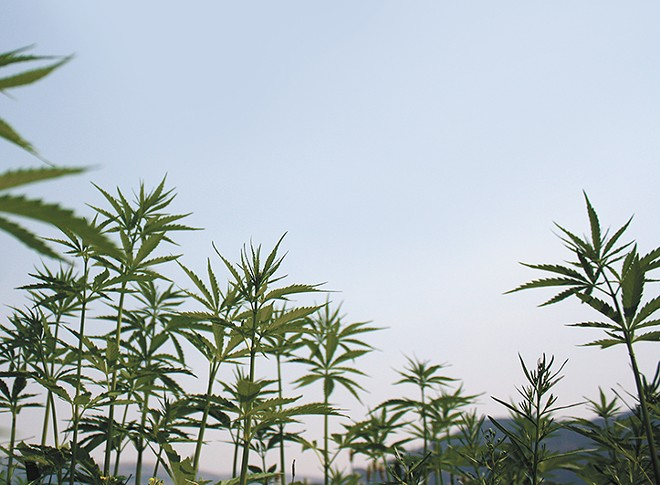 The first legal hemp plants are growing on the Colville Reservation. - SAMANTHA WOHLFEIL