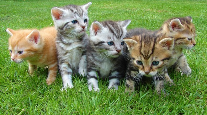 YOU CAN ADOPT KITTENS (NOT THESE GUYS, BUT AREN'T THEY CUTE?) FROM SCRAPS FOR HALF PRICE THIS WEEK.