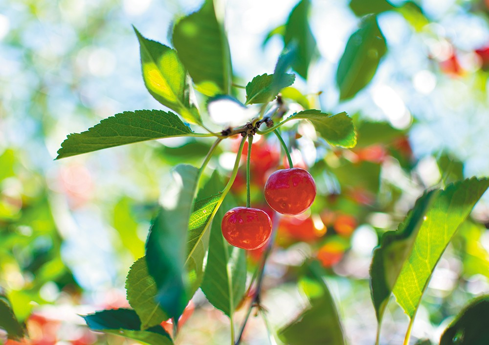 Cherries ripe for the picking at Walter's Fruit Ranch in Green Bluff. - STUART DANFORD