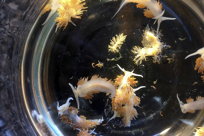 In an undated handout photo, Sea slugs brought to Oregon by a Japanese derelict vessel from the Iwate Prefecture. Hundreds of species — mussels, crabs and others — traveled thousands of miles on debris to American shores after the 2011 tsunami in Japan. - JOHN W. CHAPMAN VIA THE NEW YORK TIMES