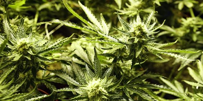 marijuana.jpg