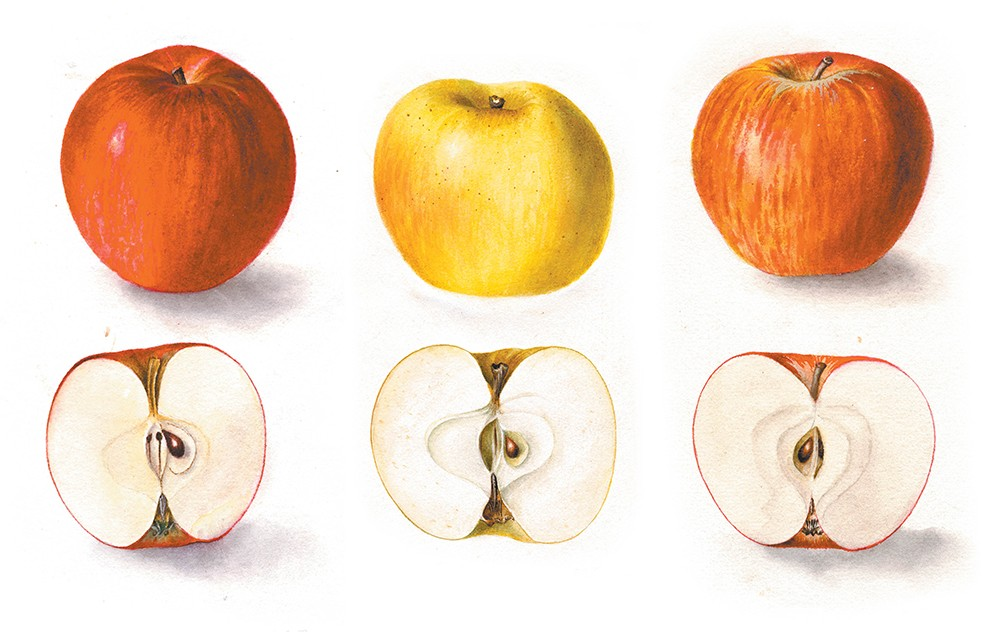 Watercolor illustrations of Jonathan, Yellow Newtown and Winesap apples by Deborah Griscom Passmore. - USDA POMOLOGICAL WATERCOLOR COLLECTION