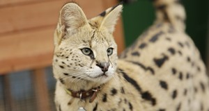 Boomer the Serval