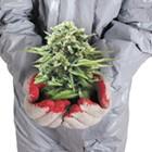 Toxic Tokes?