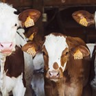 The Ethics of Eating Meat on a Small Planet