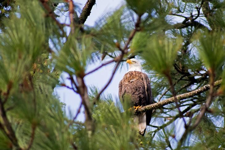 Eagles of Lake Coeur d'Alene