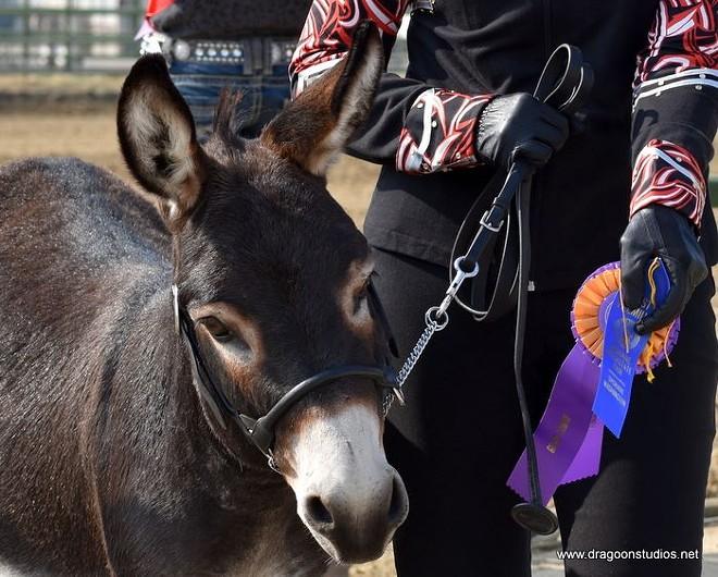 Chimera's Black Jake, Grand Champion Overall Donkey and Champion Miniature Donkey