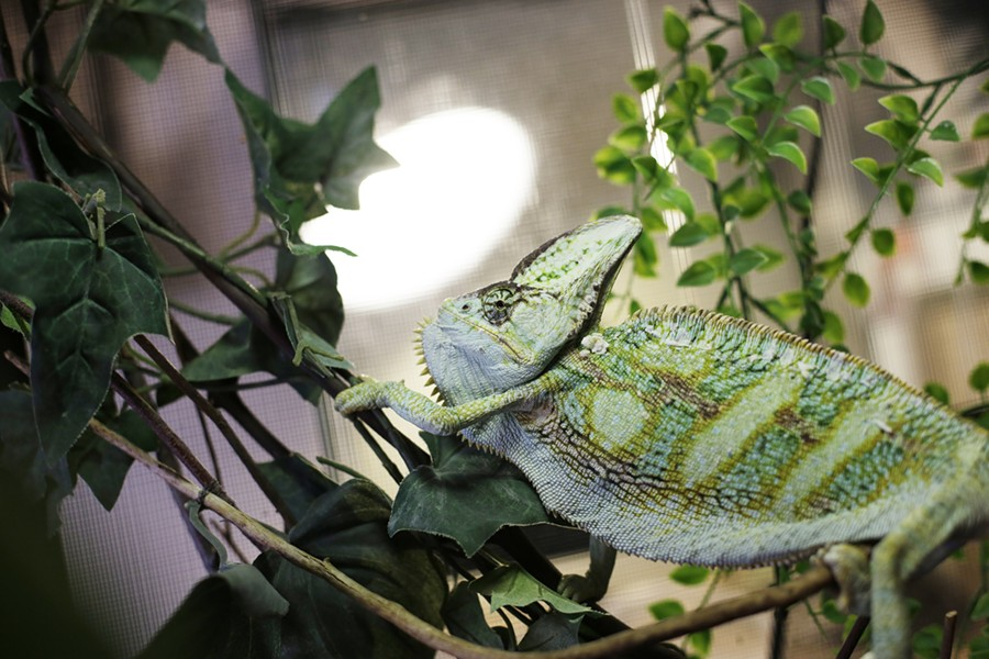 A rescued chameleon, Rafiki. - YOUNG KWAK