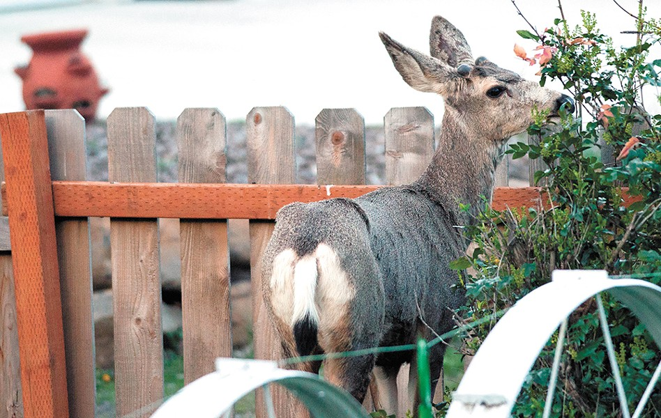 A deer munches foliage in the backyard of a Latah Valley neighborhood. - DANIEL WALTERS PHOTO