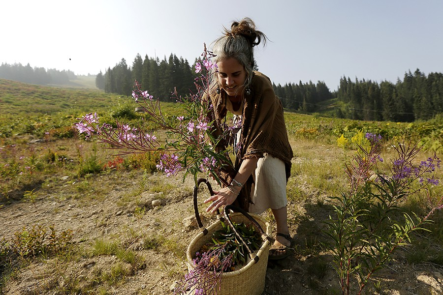 Aubrey Mundell, the Wandering Lemurian, harvests fireweed at Mount Spokane. - YOUNG KWAK