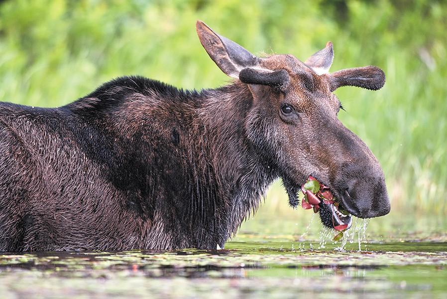 A moose munches lily pads along the shore of a North Idaho lake. - CRAIG GOODWIN PHOTO