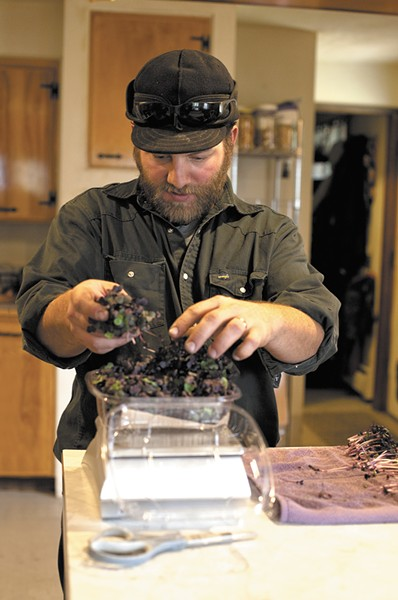 James Finlay readies microgreens for sale. Finlay and his wife Mary grow and harvest the greens year-round at their Hayden-area home. - ANNIE KUSTER