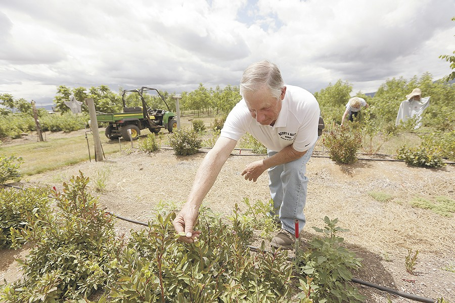 North Idaho farmer Joe Culbreth waited six years before seeing some of his 1,200 huckleberry bushes produce fruit. - YOUNG KWAK
