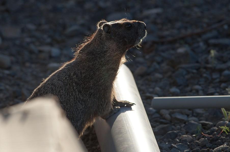 Happy Groundhog Day, America! - DANIEL WALTERS PHOTO