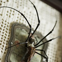 "The Taxidermied Spiders of CarLy Haney ""Nikkoli"" is a taxidermied Nephila Maculata spider. Young Kwak"