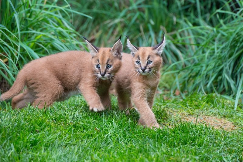 The two caracal kittens at the zoo were born in September. - ZOOBORNS / OREGON ZOO