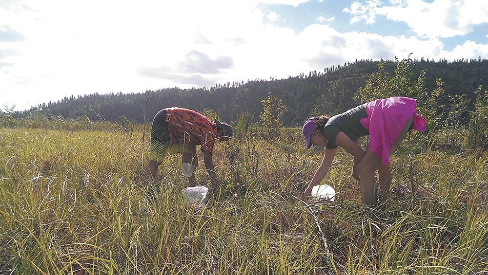 Cranberry pickers are careful to keep North Idaho's picking locations secret. - DANI VARGAS