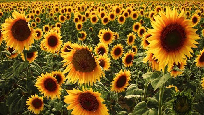 sunflowers-used_6789ef447adf6da4.jpg