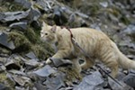 Almost 1-year-old cat Leon walks on rocks at the Bowl and Pitcher area at Riverside State Park in Spokane, Wash., Friday, June 15, 2018. (Young Kwak/The Inlander)