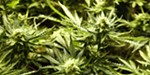 Feds acknowledge lack of authority in prosecuting Kettle Falls Five for medical marijuana grow