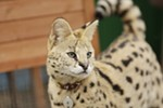 1-year-old serval Boomer stands in his enclosure at Savannah Exotics in Oakesdale, Wash., Wednesday, March 21, 2018.