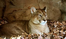 Cougar killed in Coeur d'Alene, Kavanaugh vows he won't withdraw and other headlines