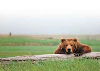 A WSU researcher lived with grizzly bears in Alaska. She came away convinced humans and grizzlies can coexist