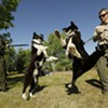 Meet Washington state's Karelian Bear Dogs