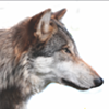 Lands Council adds to reward offered for wolf poachers, now up to $26,000