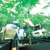The basics of growing cannabis
