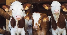 sb-brian-henning-cows.jpg