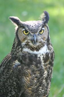 23861467_hanovi_great_horned_owl.jpg