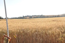 5fe39b97_our_beautiful_wheat_fields.jpg