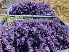 dec3a327_lavender.jpg
